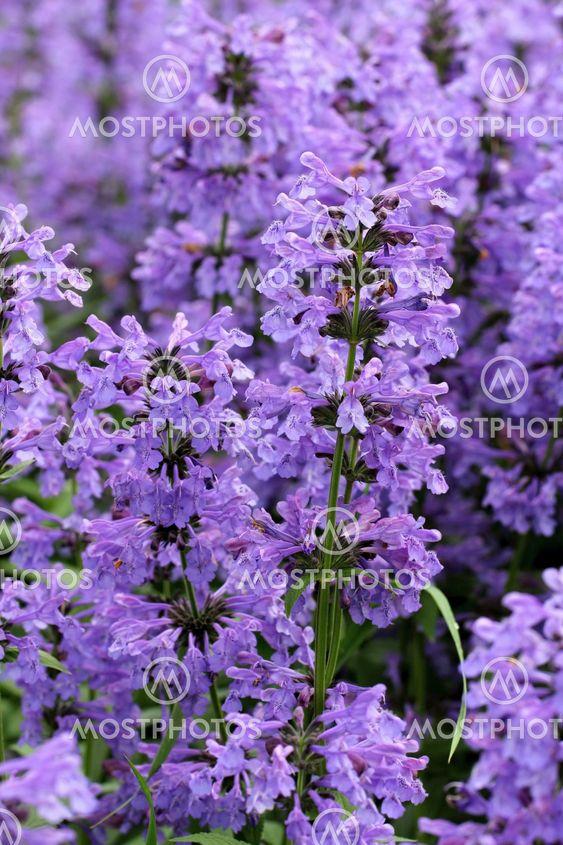 Purple Hyssop Flowers (Hyssopus officinalis)