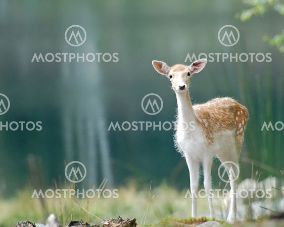wallpapers of cute animal dama deer pictures
