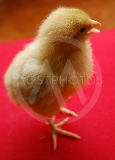 The chick