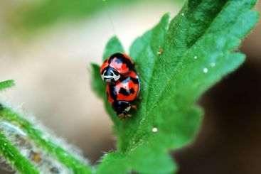 Ladybirds with love