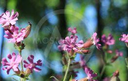 Wild flowers Silene dioica