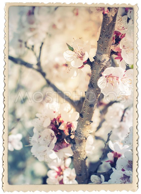 Stylization under Vintage Card with Cherry Blossoming