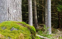 Mossig sten i granskogen