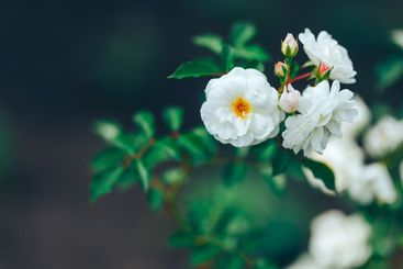 Beautiful white wild rose in green garden