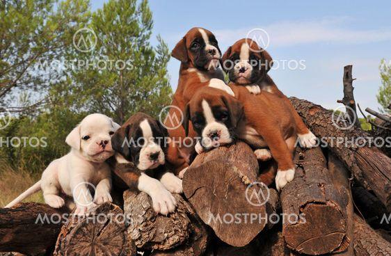 five puppies boxer