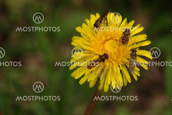 dandelion & hover flys