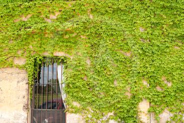 wall with vine leaves