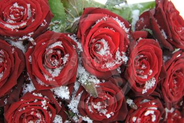 Bouquet with red roses in the snow
