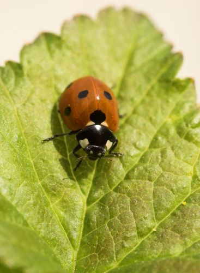 Ladybird on Currant Leaf