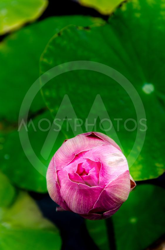 Asian Pink Lotus Flowers In By Suppajit Sukkunta Mostphotos