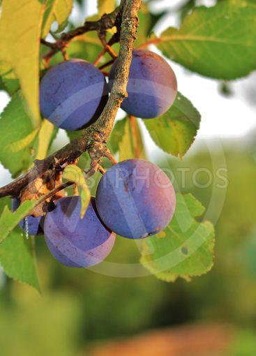 Ett plommonträd fullt med frukt