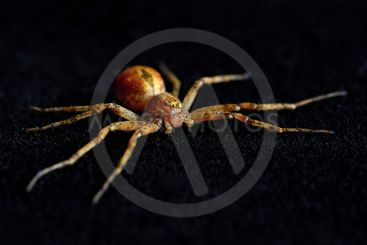 Scary spider isolated on black background