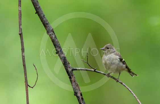 Common chaffinch (Fringilla coelebs) female