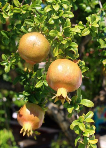 Granatäppleträd på Kreta