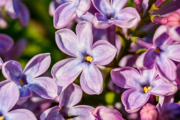 beautiful lilac bush is removed using a macro