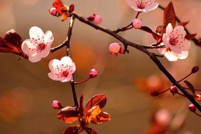 Beautiful flowering Japanese cherry - Sakura. Background...