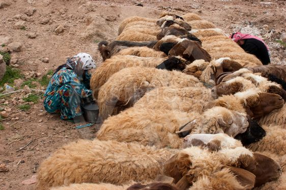 Time to Milk the Sheep Syrian Style