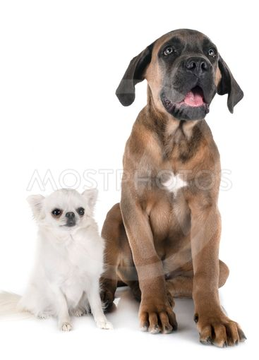 puppy cane corso and chihuahua