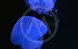 White-spotted jellyfish swimming