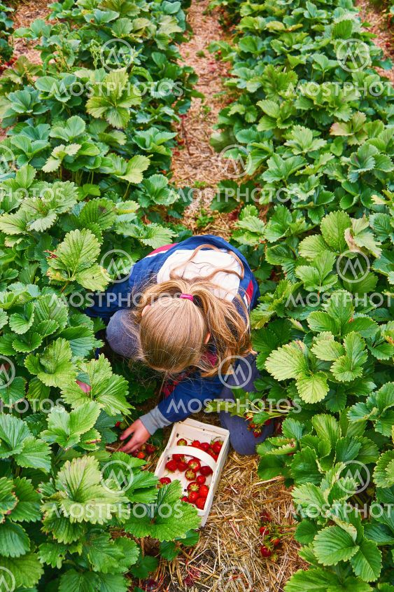 Young girl picking strawberries on an organic strawberry...