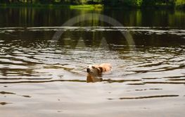 Dog swimming in nature lake