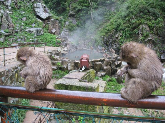 Japanske monkeys2
