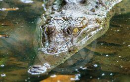 Crocodile in a lagoon in Costa Rica