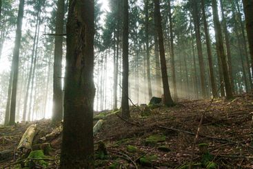 Forest at morning light