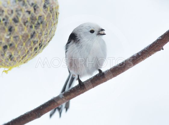 Tailed tit