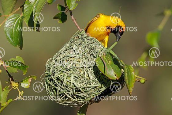 Lesser masked weaver at nest