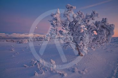 Snötyngd träd