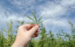 Hand with a cannabis hemp leaf against the sky, legalize...