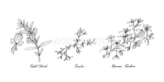 Hand Drawn of Sculpit or Stridolo, Samphire and Summer...