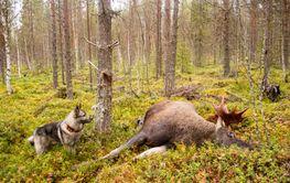Moose hunting in Sweden / Älgjakt i Sverige