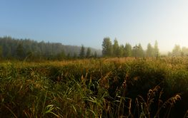 Dawn over the tall thick grass of a forest swamp in the...