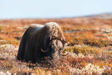 Musk ox animal standing in autumn landscape, Norway