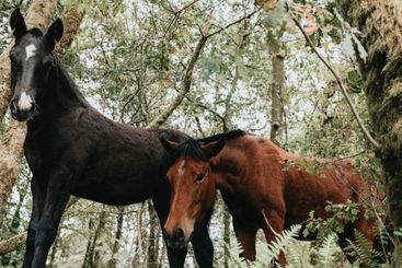 Close up of two young wild horses in the forest during a...