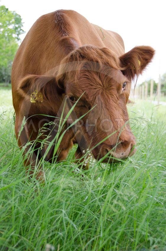 Cow Eating Grass By Jari Juntunen Mostphotos