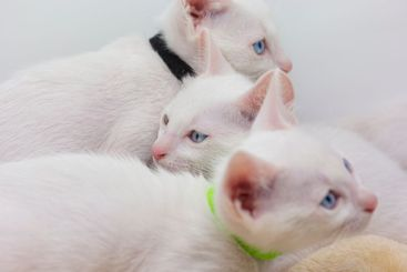 White kittens with blue eyes with white background