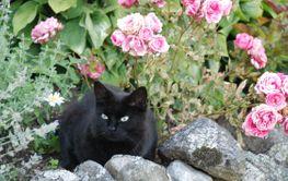Katt i trädgårdsrabatt  (Sweden)