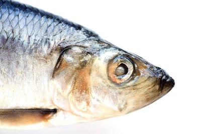 herring on white