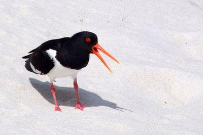 An oystercatcher bird (Haematopus ostralegus) making a...