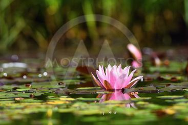 Flower. Beautiful blooming water lily on the water...