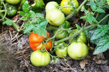 Ripening tomatoes on branches in natural conditions.