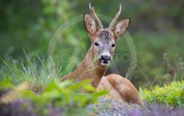 Wild Deer lying and resting in the beautiful
