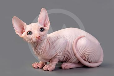 The Canadian sphynx on a white background