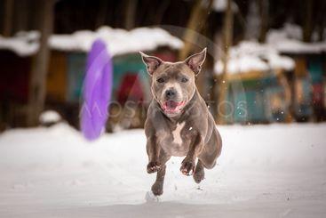 staffordshire bull terrier running for dog puller
