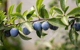fruits of  damson plum