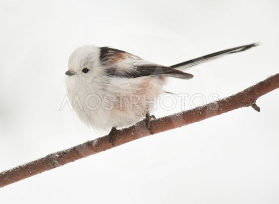 long-tailed tit on branch in winter