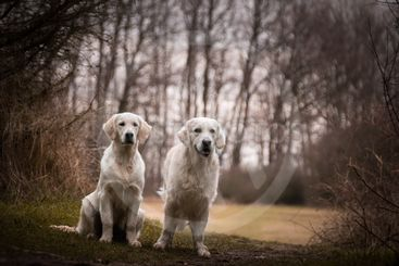 Labrador are standing in front of forest,